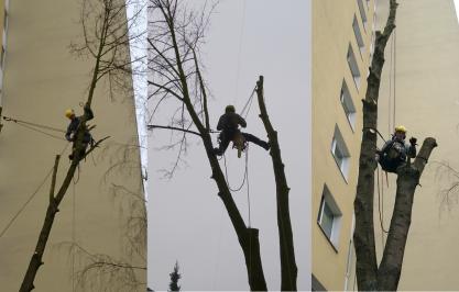 Spiľovanie rizikových stromov, arboristika